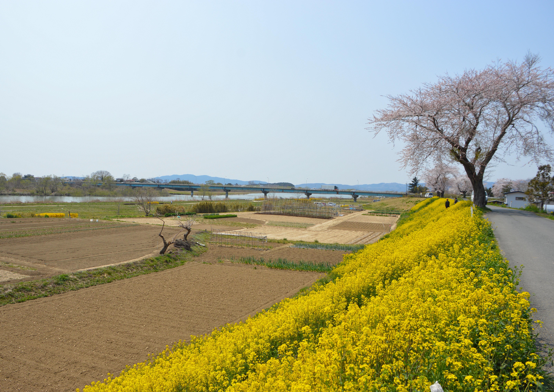 桜 (4)