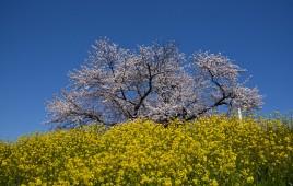 豊里町川前沿い堤防の桜並木です