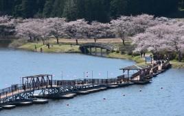 平筒沼の桜満開近し(4月12日)