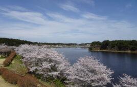 豊里町内の桜をご紹介